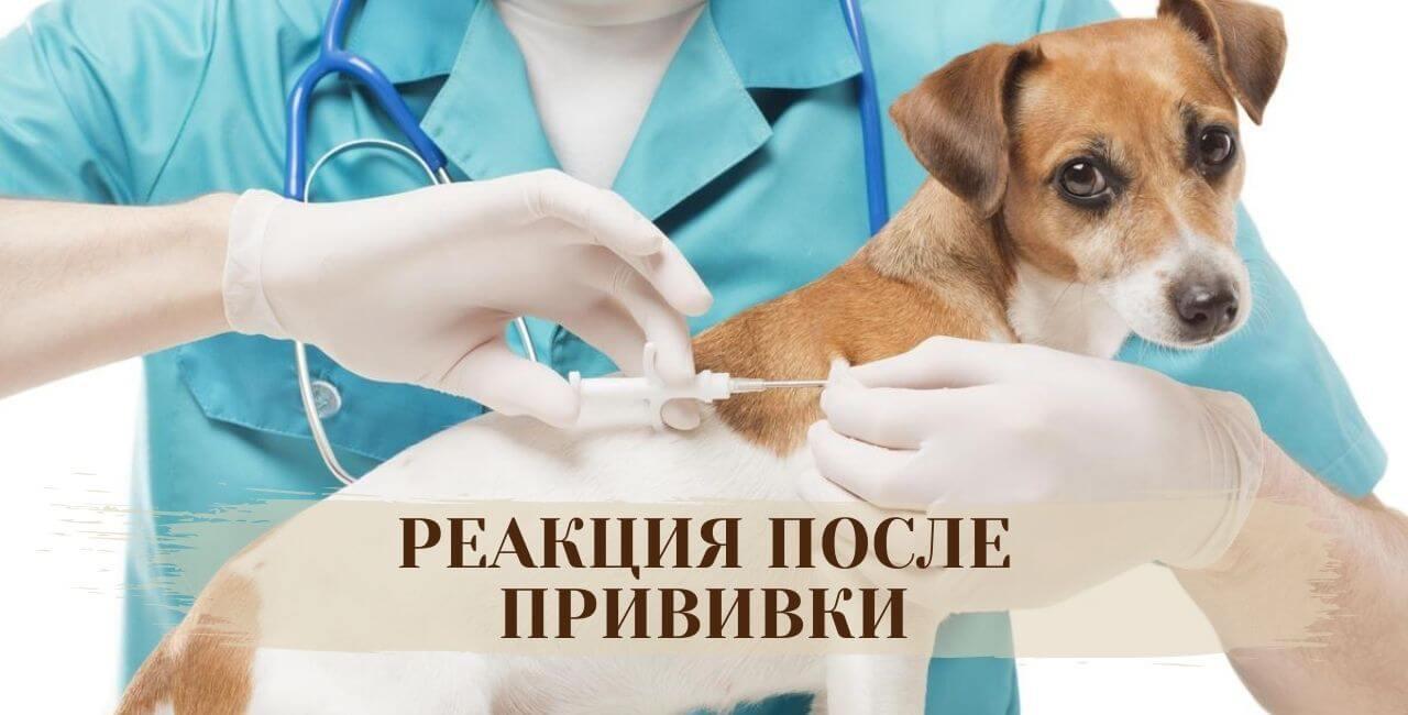 Реакция собаки после прививки