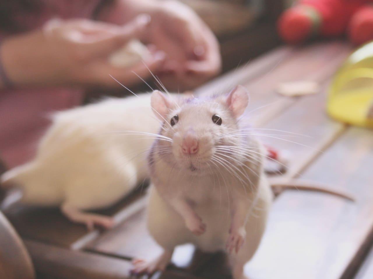 Болезнь у крысы