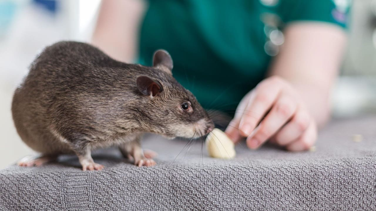 Меню для крысы