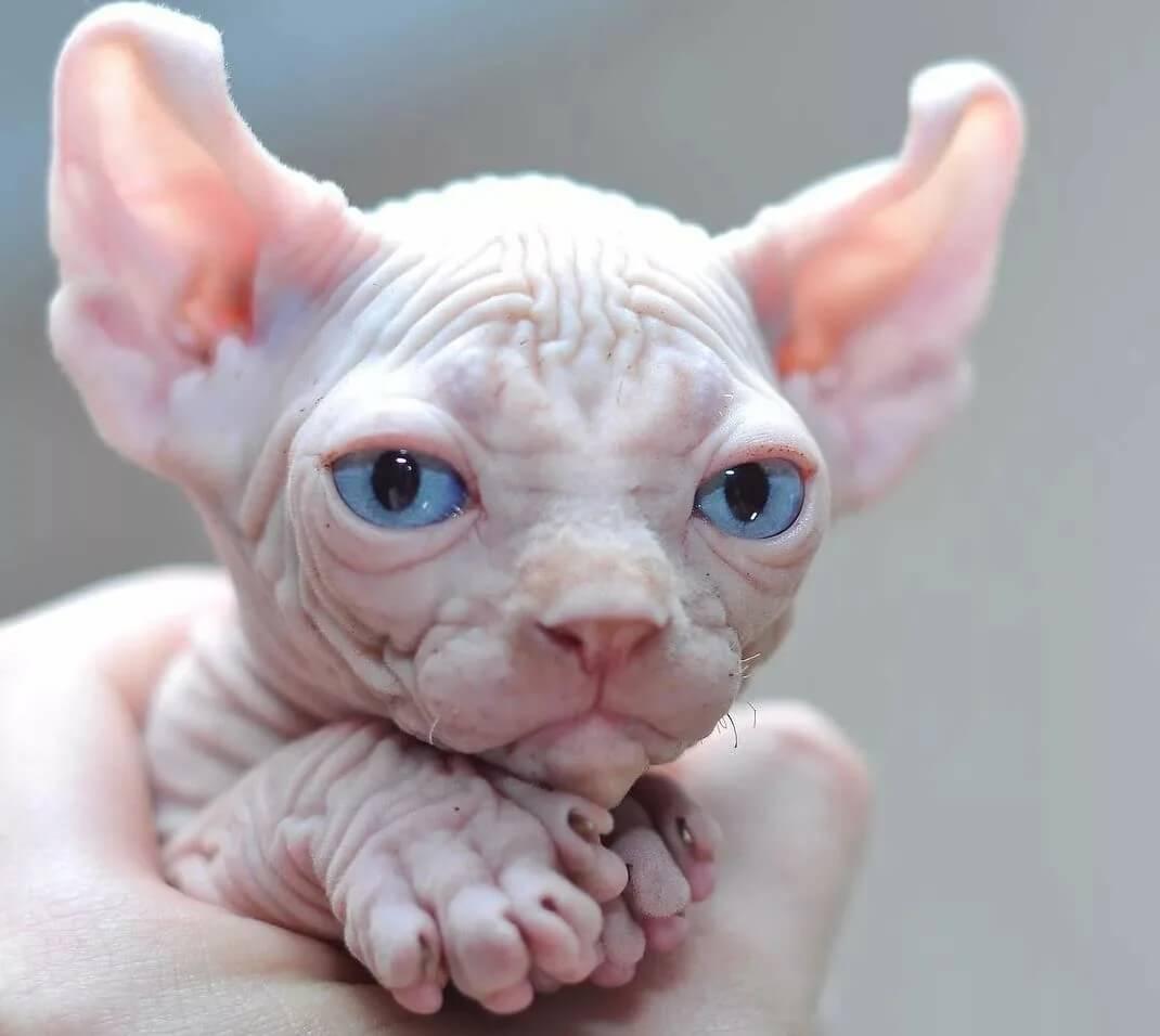 Первая прививка эльфийской кошке