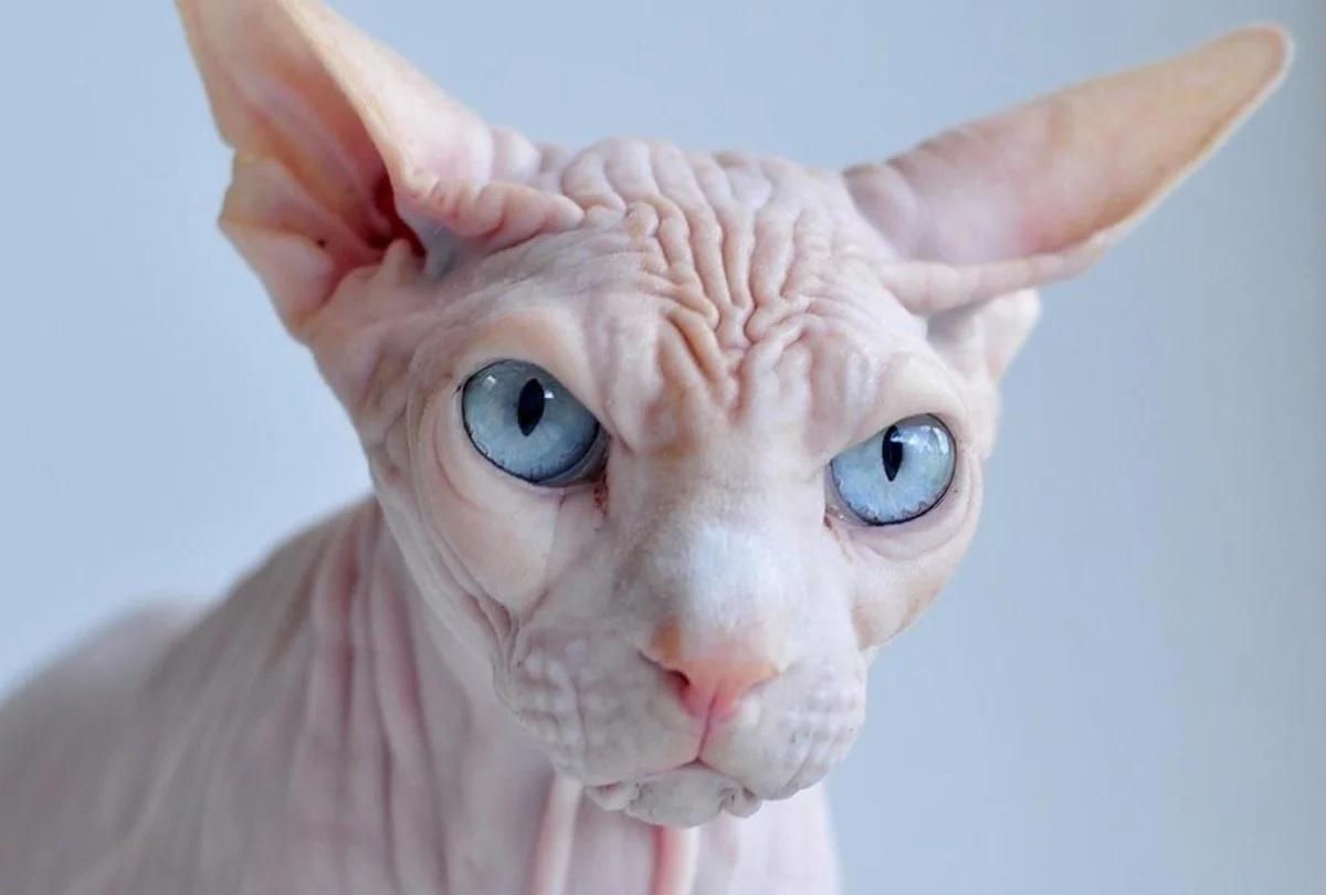 Характер кошек Кохона