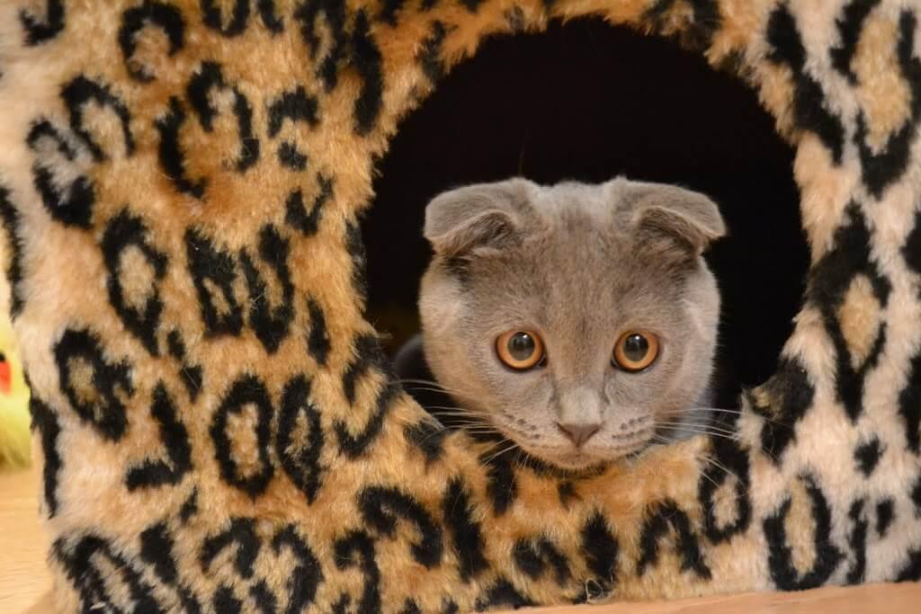 содержание и уход вислоухой кошки