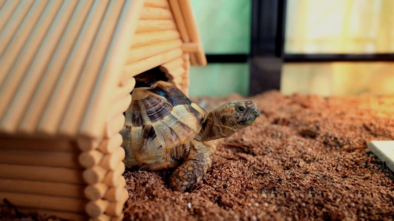 Содержание сухопутных черепах