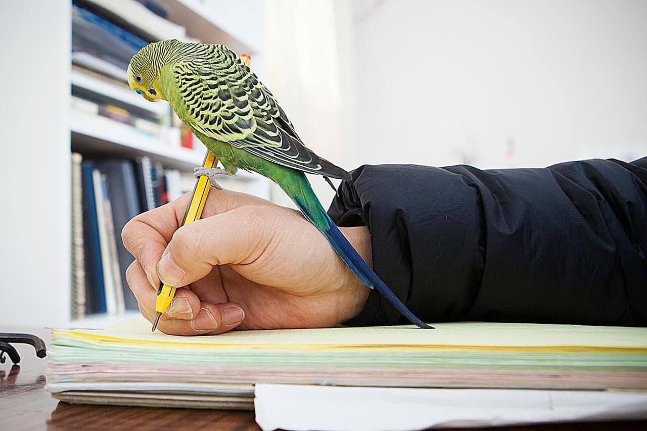 Особенности в обучении попугая