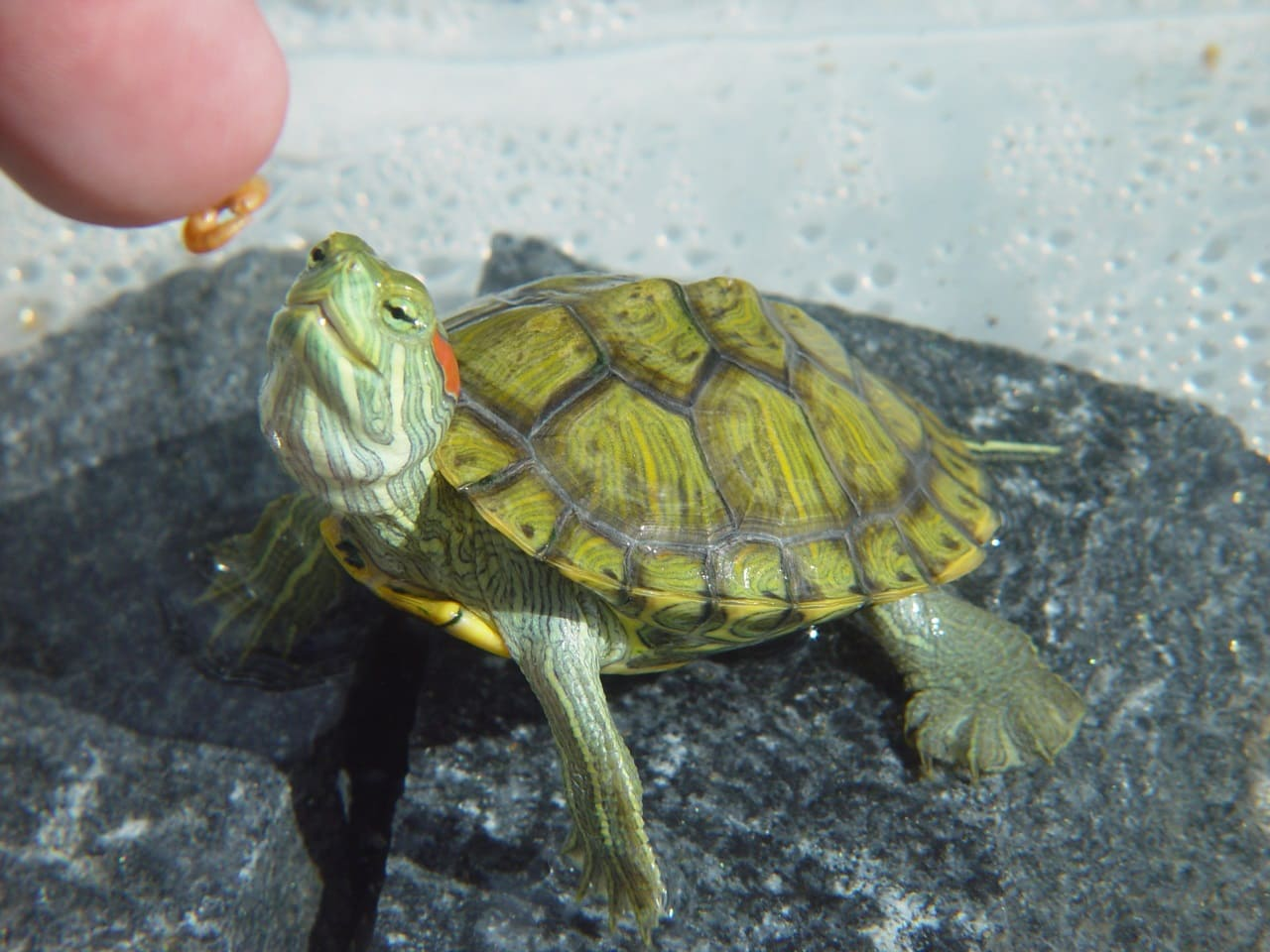 Как часто кормить черепаху