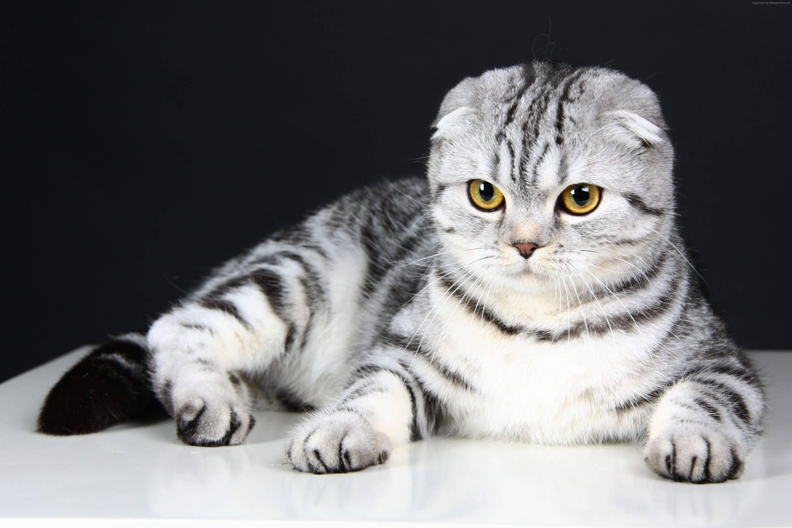 Профилактика болезней шотландской кошки
