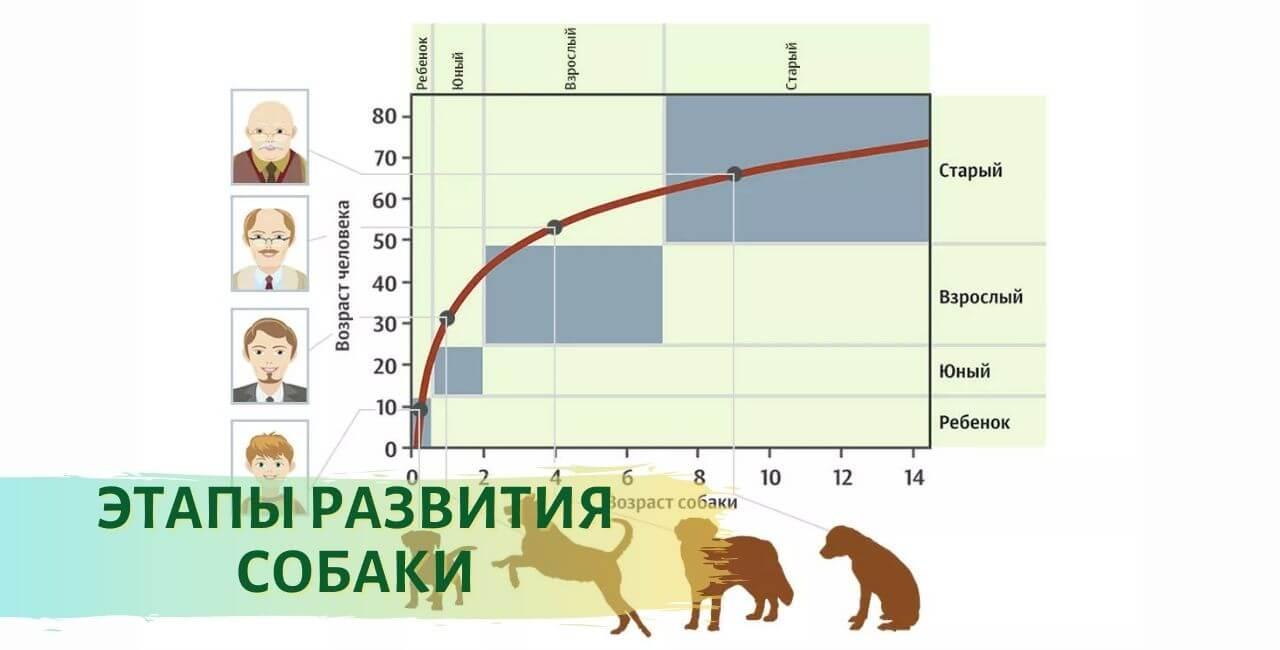 Таблица возраста собаки и человека