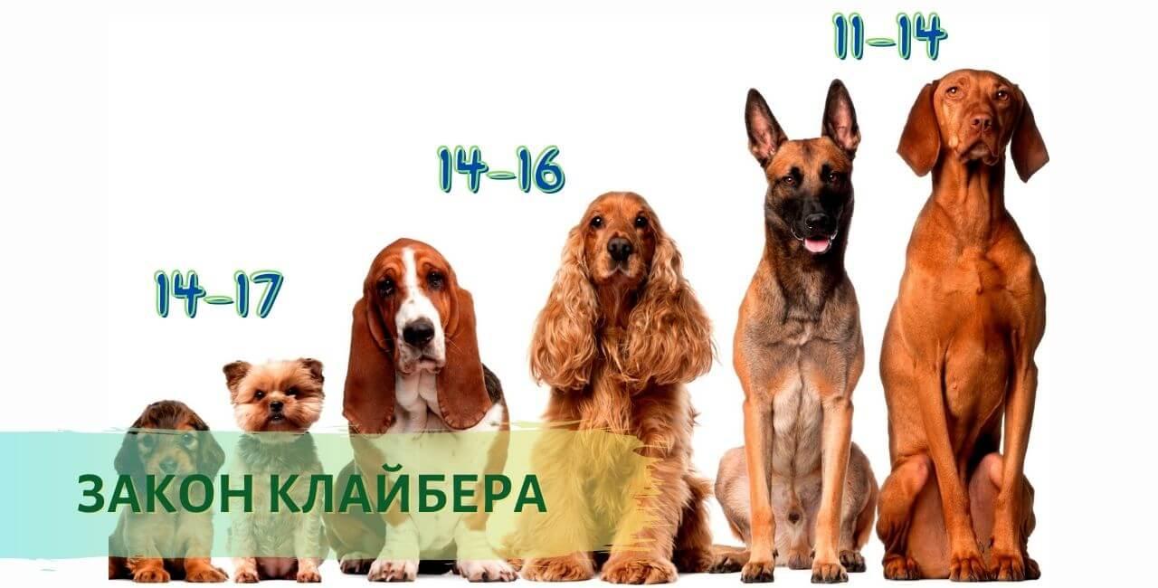 Сколько лет собаке по человеческим меркам - Теория Клайбера