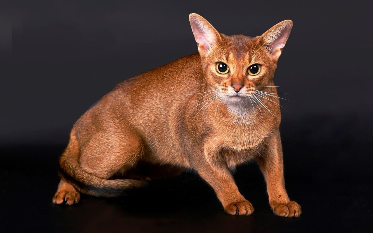 Здоровье цейлонской кошки