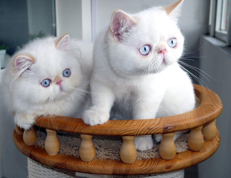 как выбрать котенка экзота