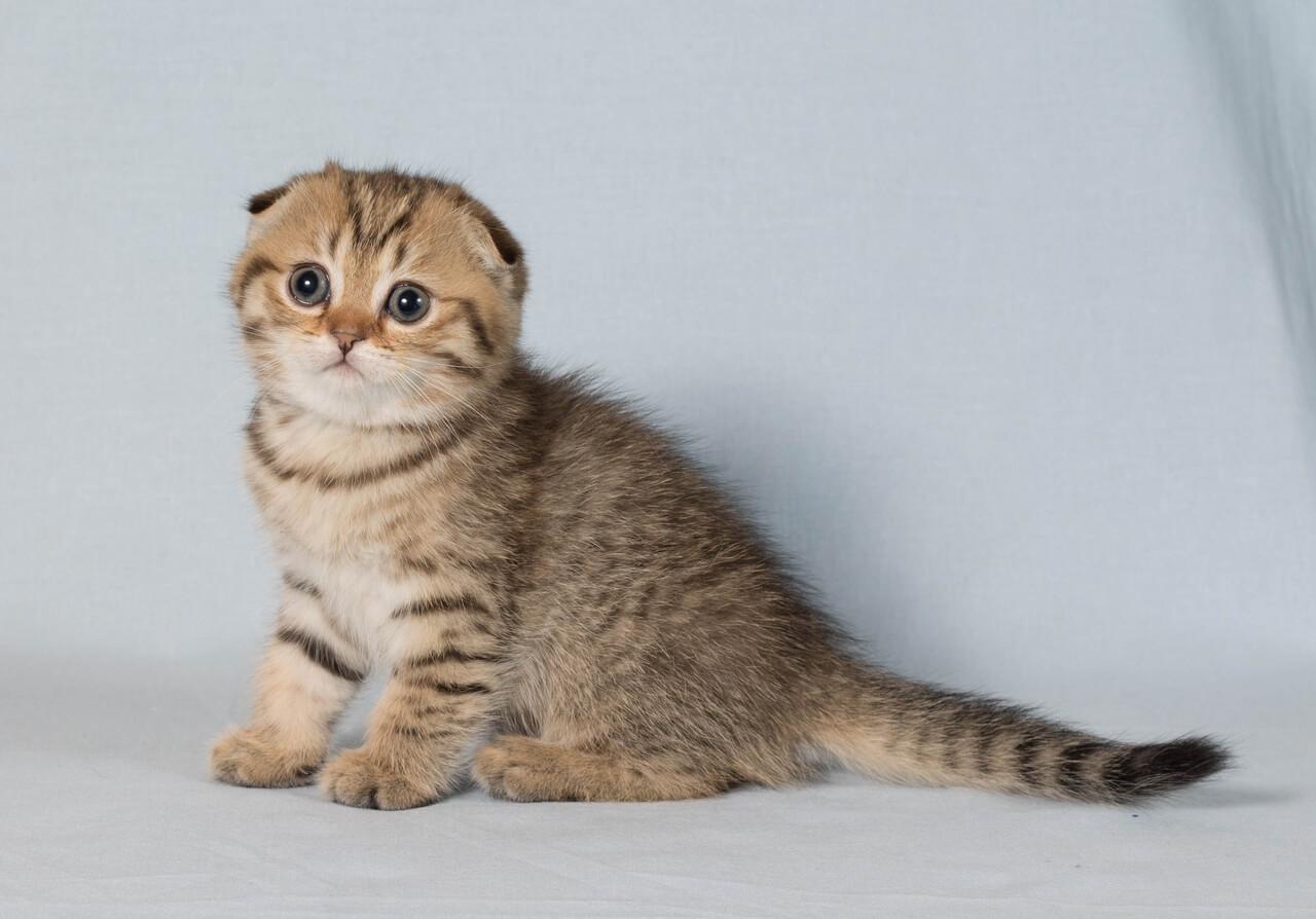 выбрать вислоухого котенка