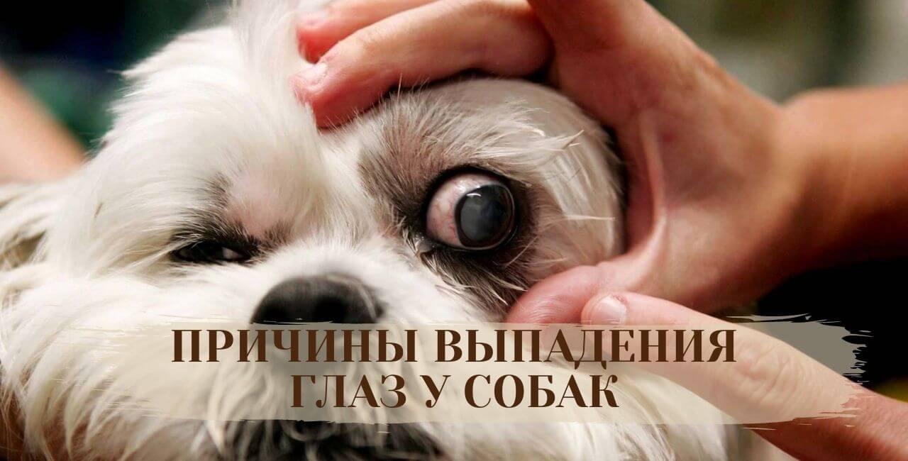 Причины выпадения глаз у собак
