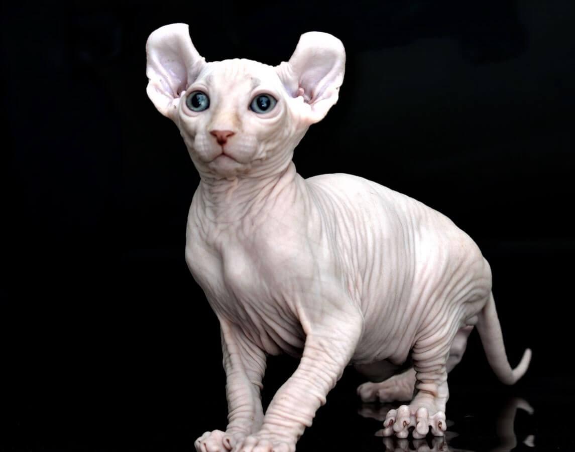 Как купить котенка Эльфа?