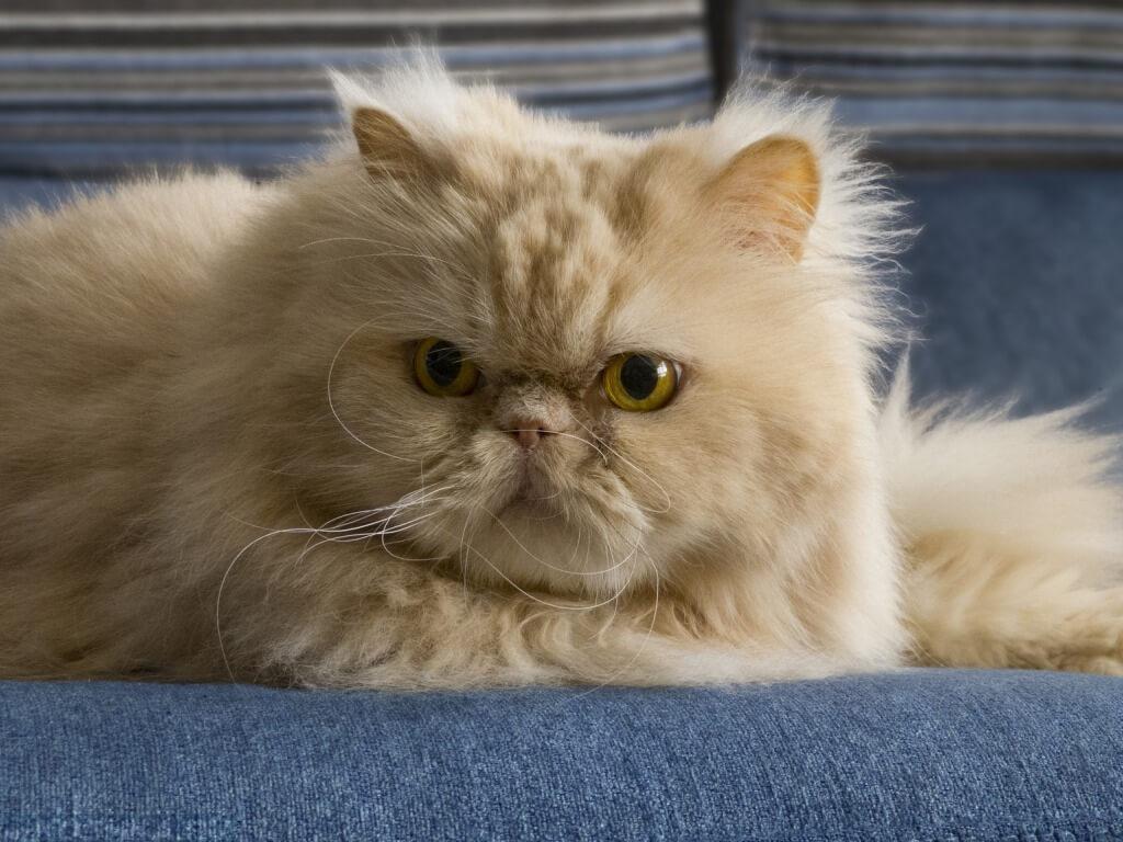 здоровье персидской кошки