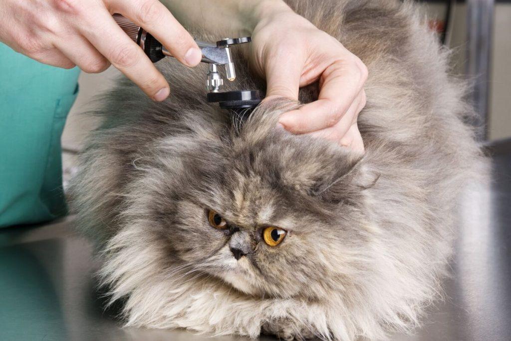 здоровье персидской кошки - осмотр